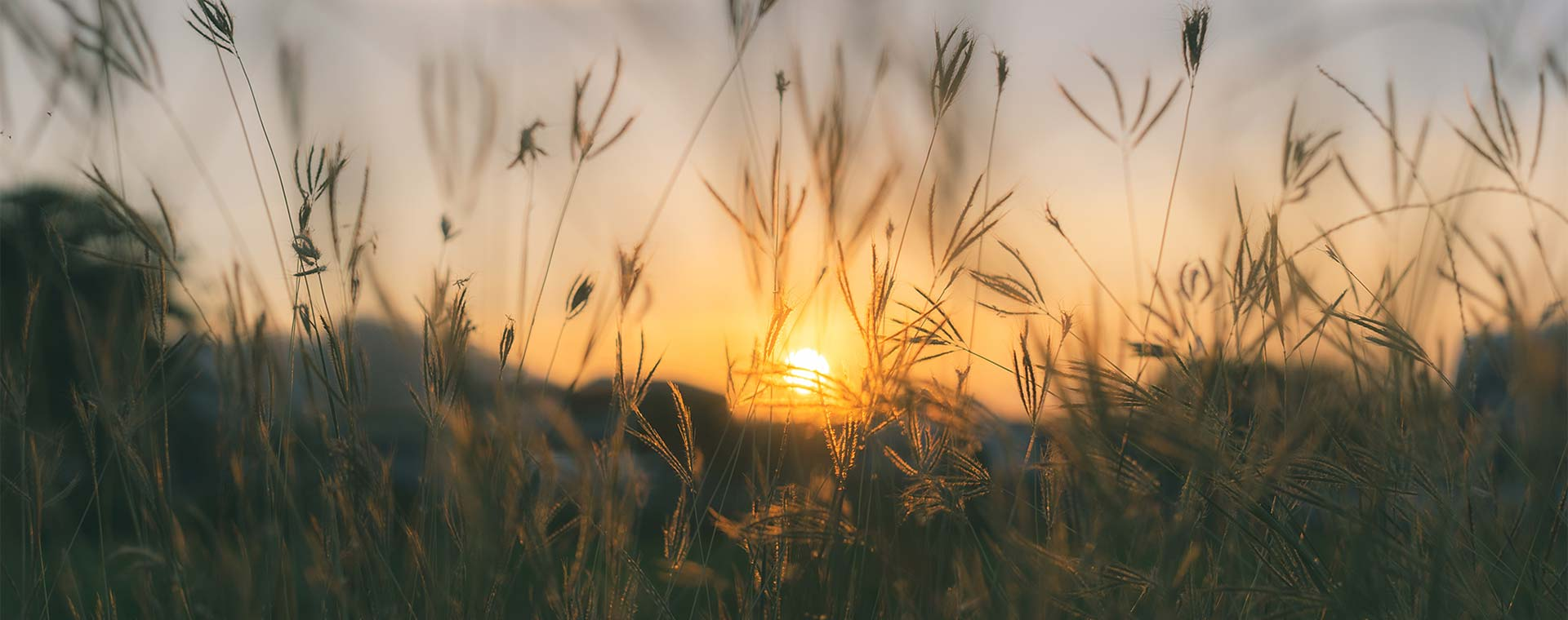 A close up of prairie grasses, with the sun rising in the background.